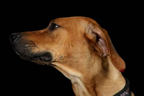 Bleeding Ear Tips | Rhodesian Ridgeback Pedigree Search